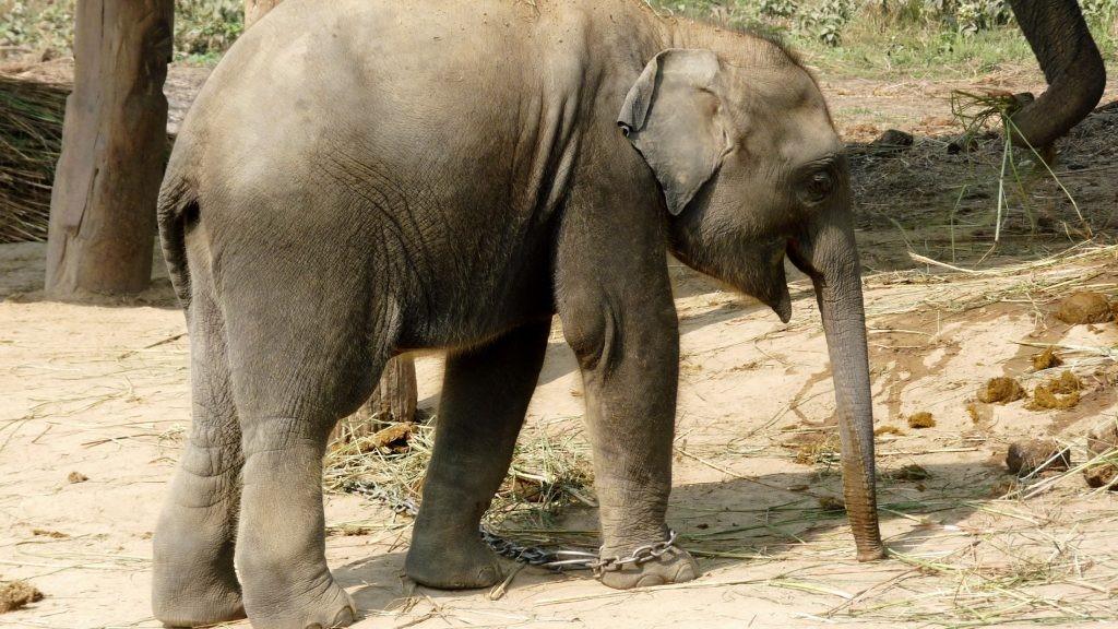 Elefant in Ketten